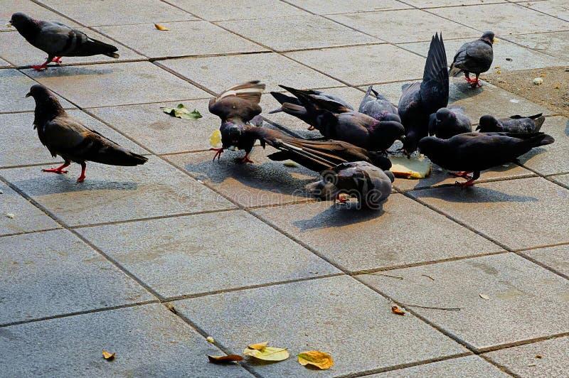 鸽子吃面包 免版税库存照片