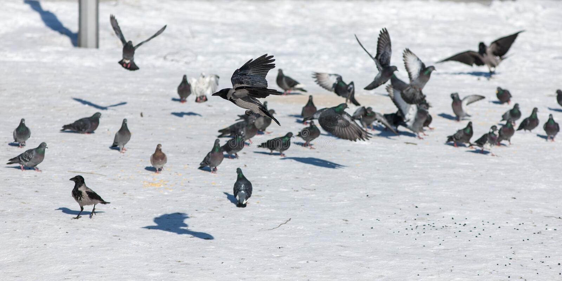 鸽子和乌鸦在冬天 免版税库存图片