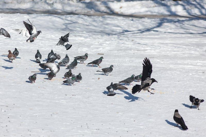 鸽子和乌鸦群  免版税图库摄影