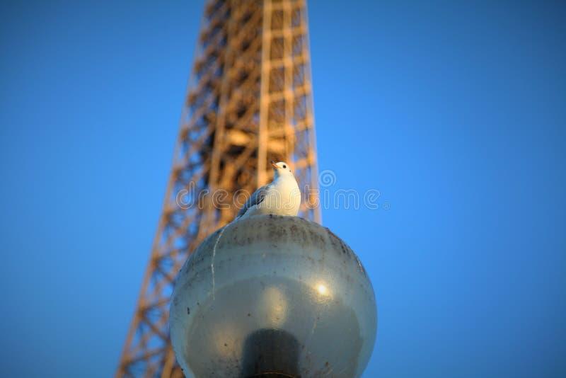 鸽子和塔 库存图片