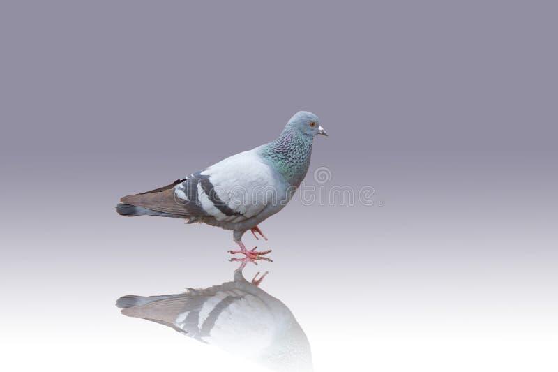 鸽子和阴影 免版税库存图片