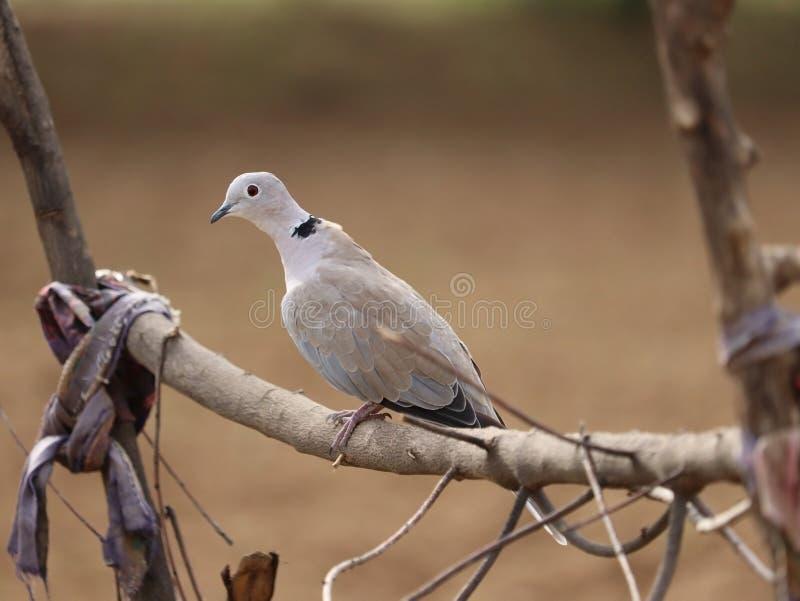 鸽子图象|白色棕色选拔 免版税库存照片