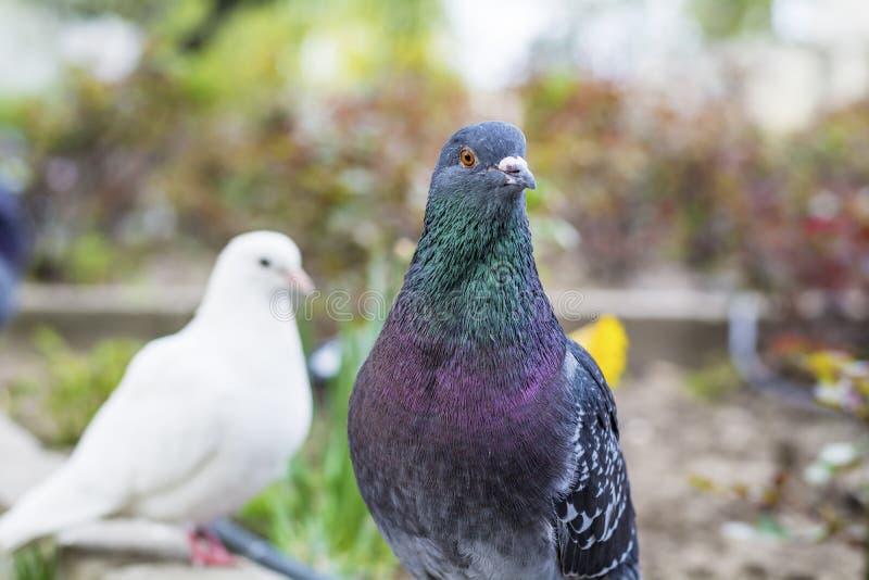 鸽子在一个美丽的春天庭院里 库存图片