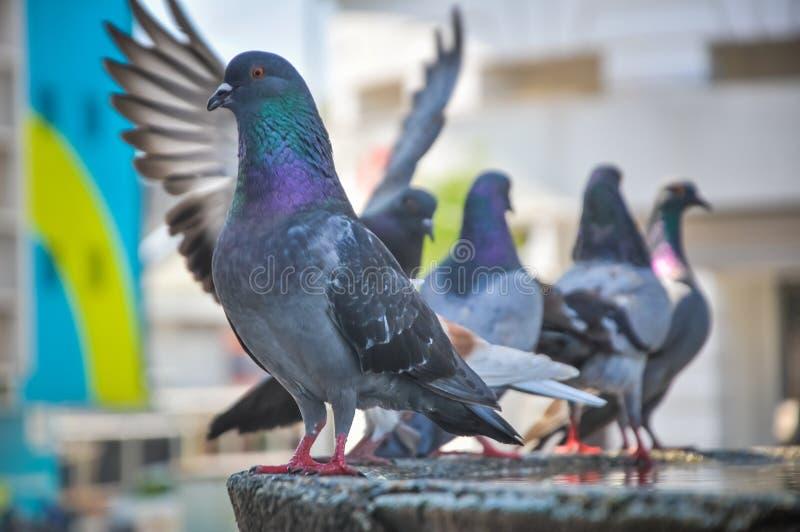鸽子在城市 免版税库存照片