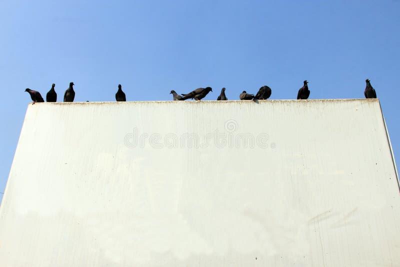 鸽子坐一个室外白板 免版税库存图片