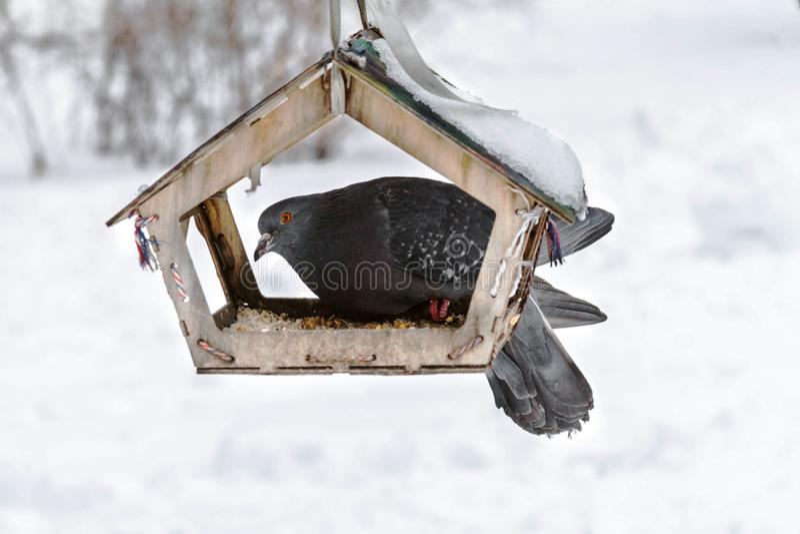 鸽子坐一个鸟饲养者在公园 冬天 库存图片
