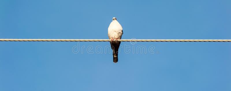 鸽子坐与天空蔚蓝的一根导线作为背景 图库摄影