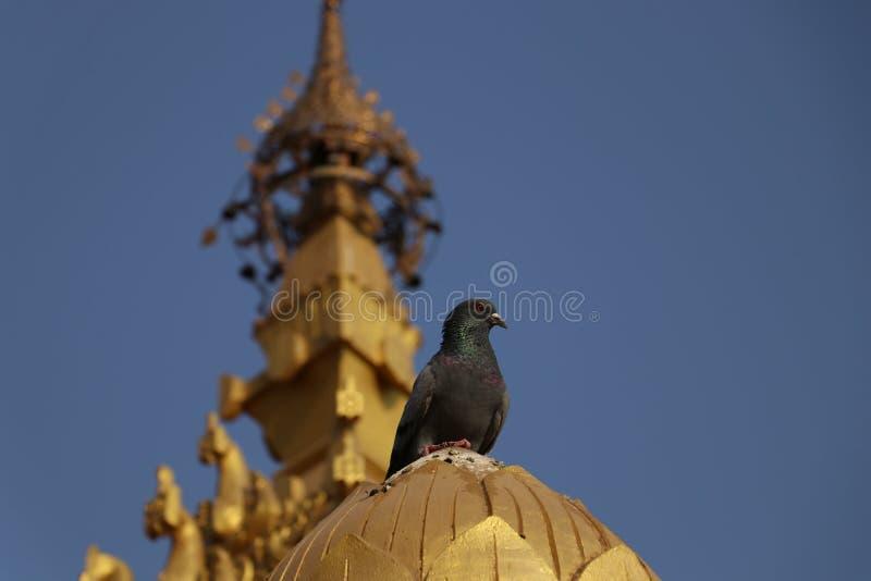 鸽子坐其中一根柱子在Vippasana塔 库存图片