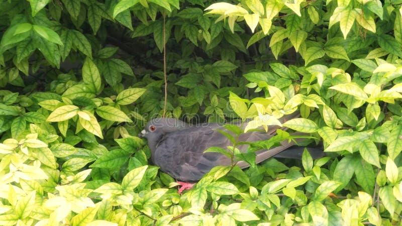 鸽子岩石鸠,在树的Columba利维亚 图库摄影