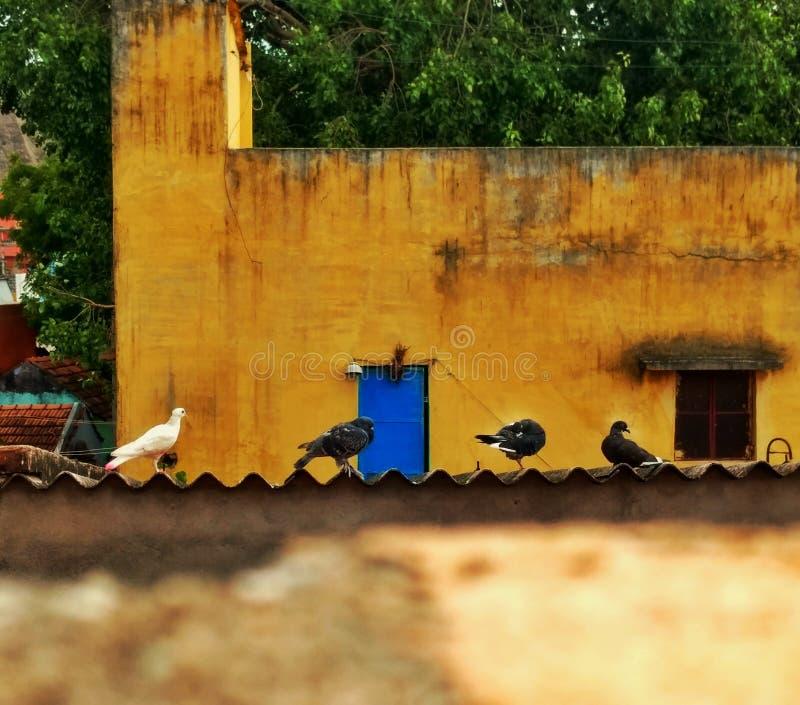 鸽子早晨 免版税库存图片