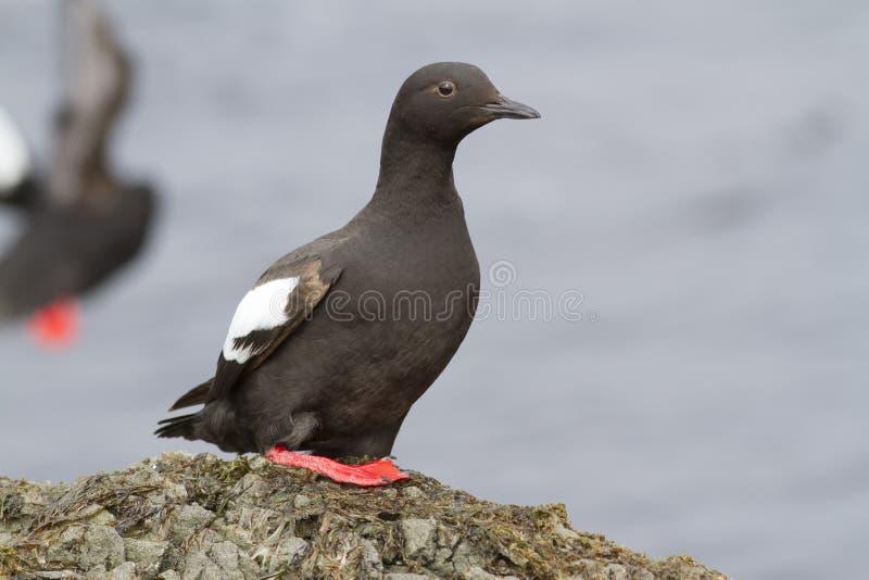 鸽子海雀科的鸟坐一个岩石在塑象区域在t期间 图库摄影