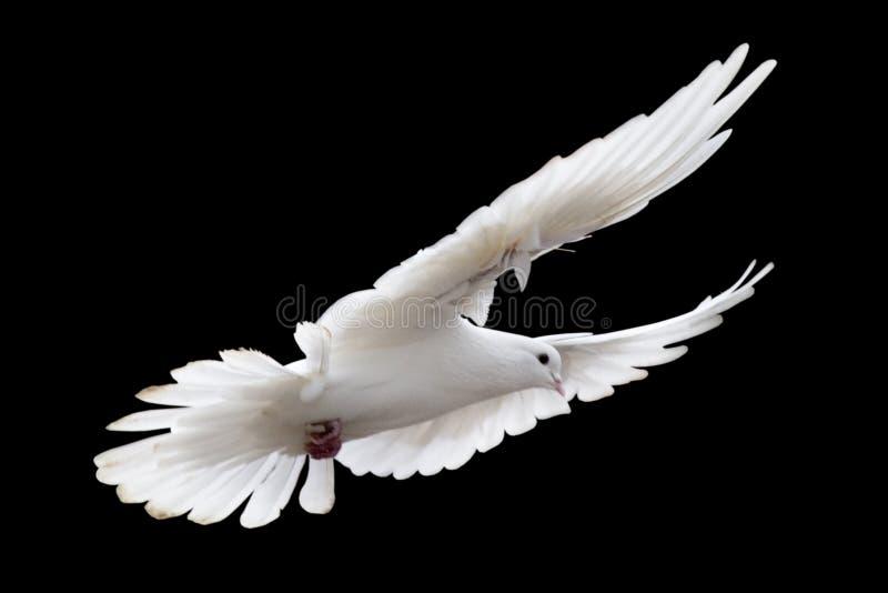 鸽子白色 免版税库存照片