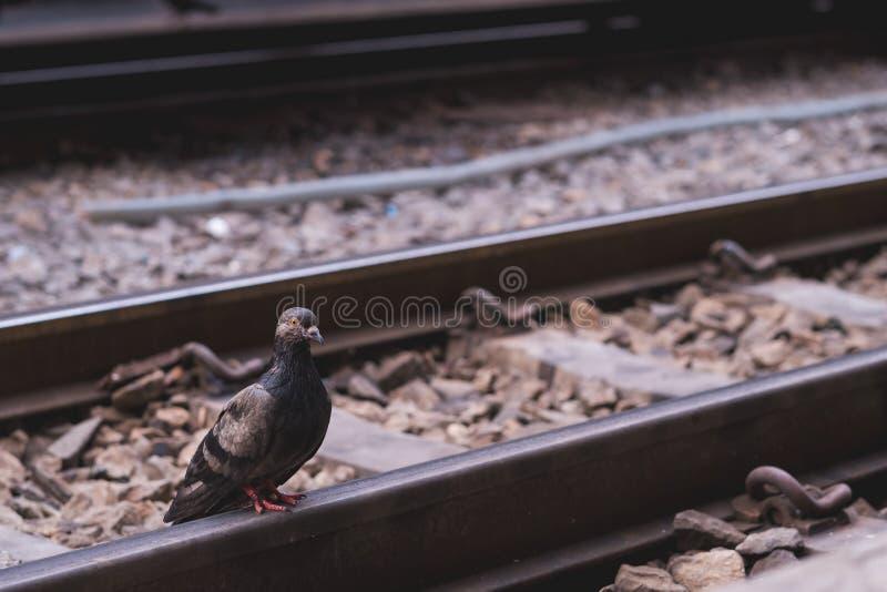 鸽子站立单独在一个空的铁路平台 库存照片