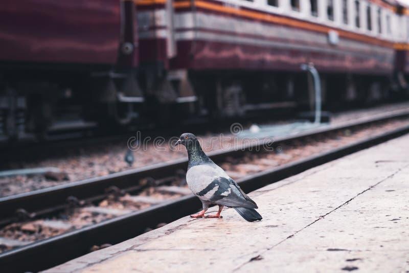 鸽子站立单独在一个空的铁路平台 免版税图库摄影