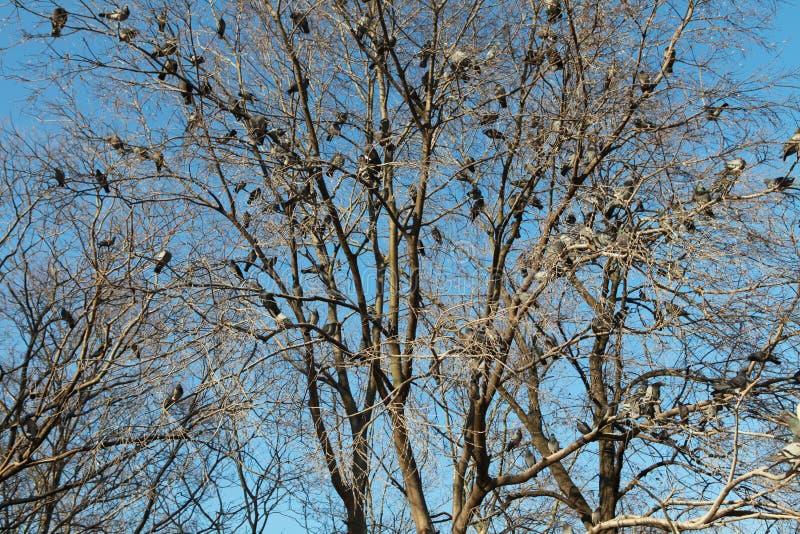 鸽子结构树 库存照片