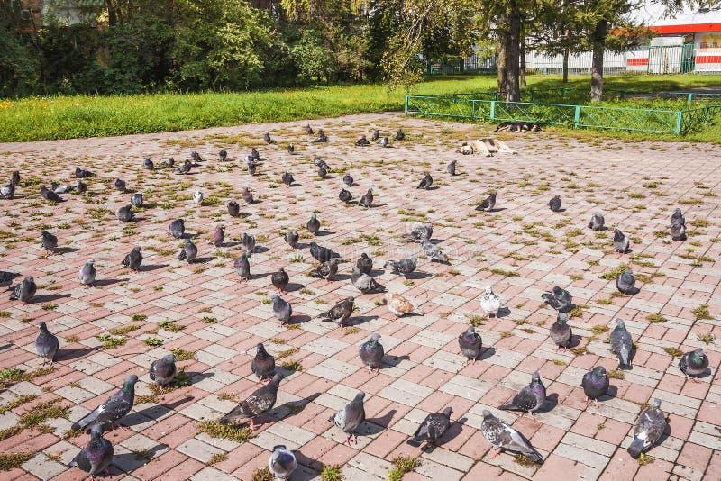 鸽子群在睡觉的狗附近走并且哺养在阳光下 免版税库存照片
