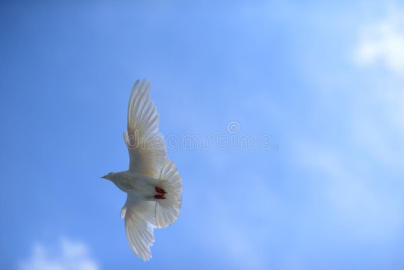 鸽子自由地飞行在蓝天下 免版税库存图片