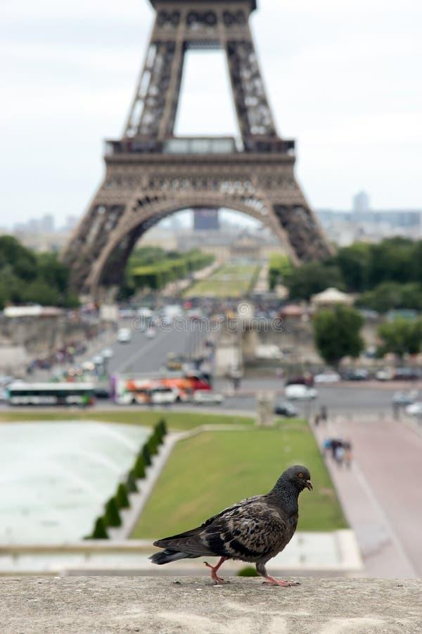 鸽子艾菲尔铁塔 免版税库存图片