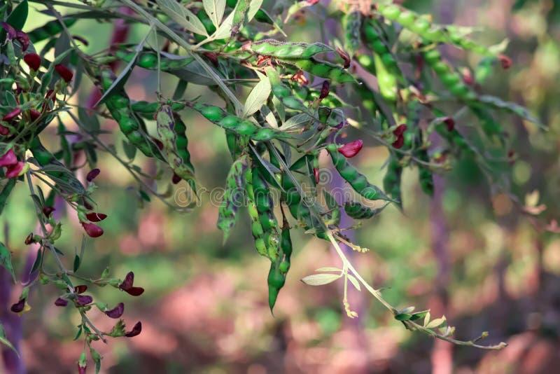 鸽子豌豆作物、鸽子豌豆作物田、萨隆夸迪、阿姆巴乔盖·比德、古吉拉特、印度、东南亚 免版税库存照片