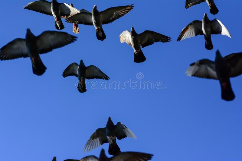 鸽子飞行 免版税图库摄影