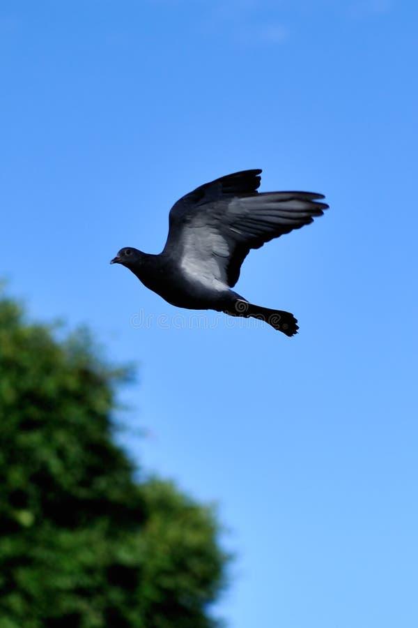 鸽子飞行 图库摄影