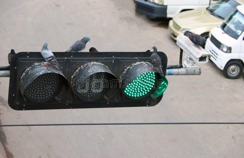 鸽子鸟在红绿灯栖息,在绿灯 免版税库存图片