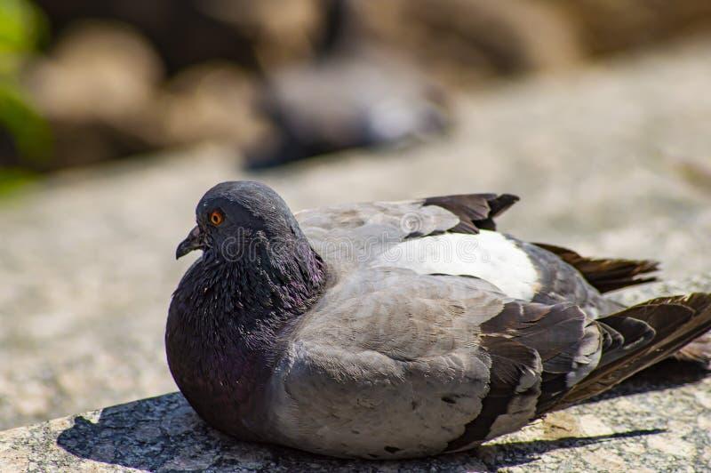 鸽子鸟基于边路 库存图片