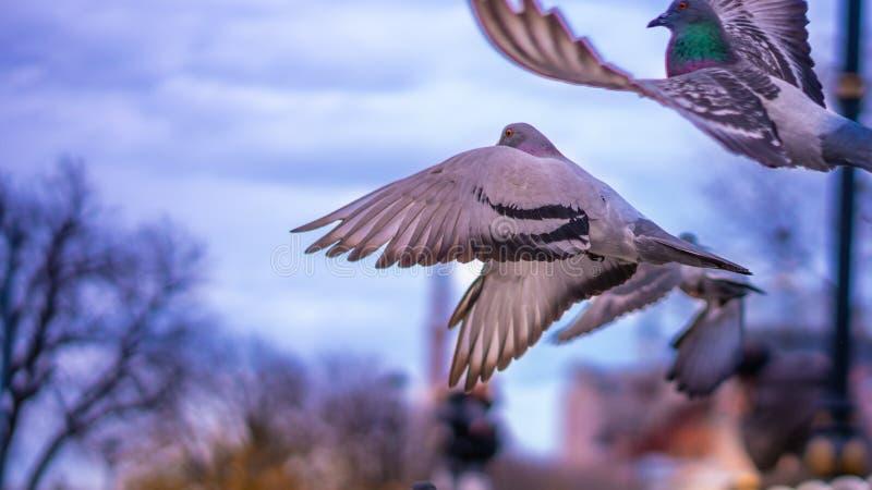 鸽子鸟群飞行在天空的 库存图片