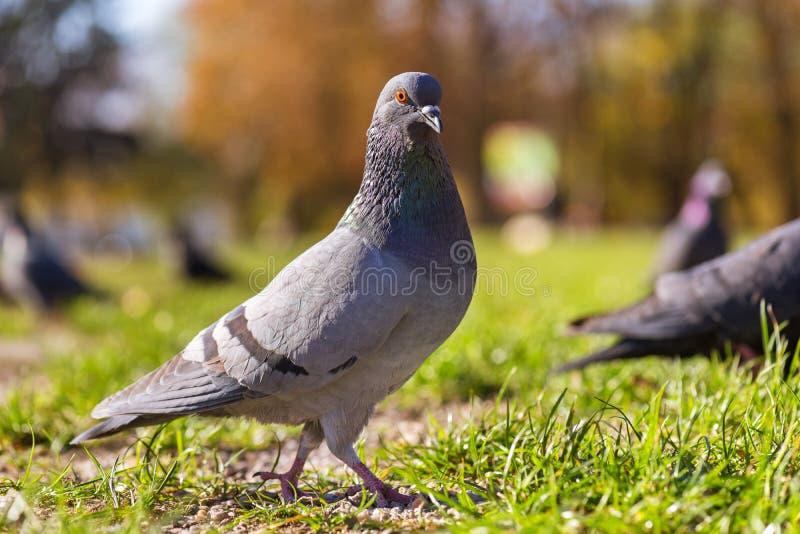 鸽子鸟走 库存图片