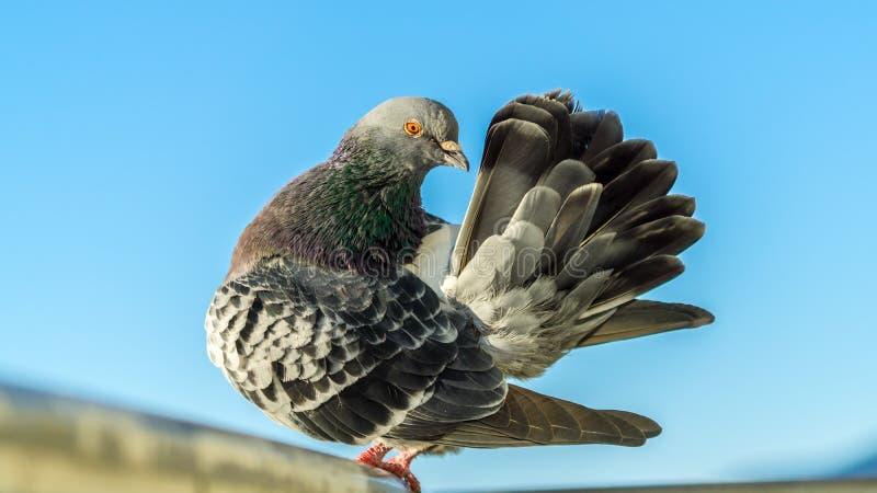 鸽子-我认为我是孔雀 库存照片