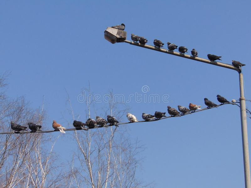 鸽子 库存照片