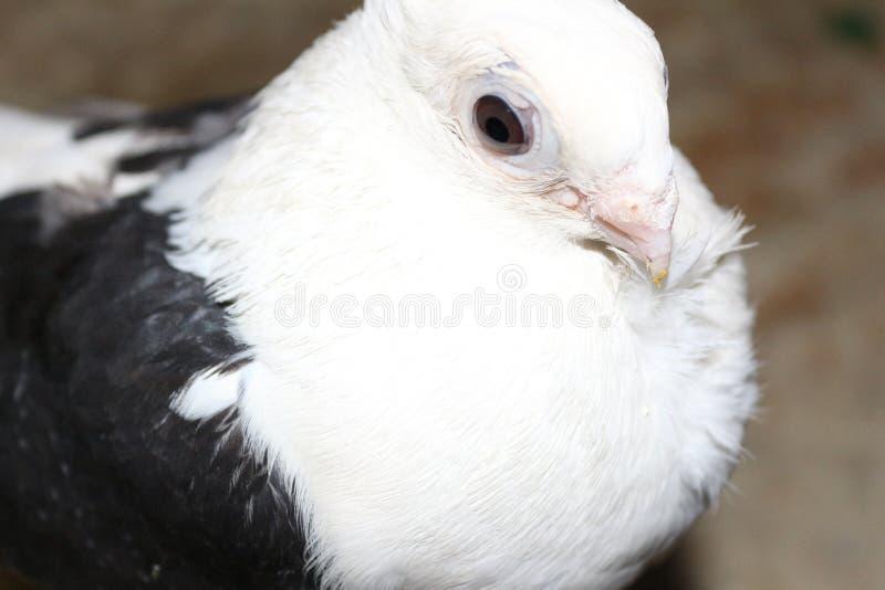 2鸽子 免版税库存照片