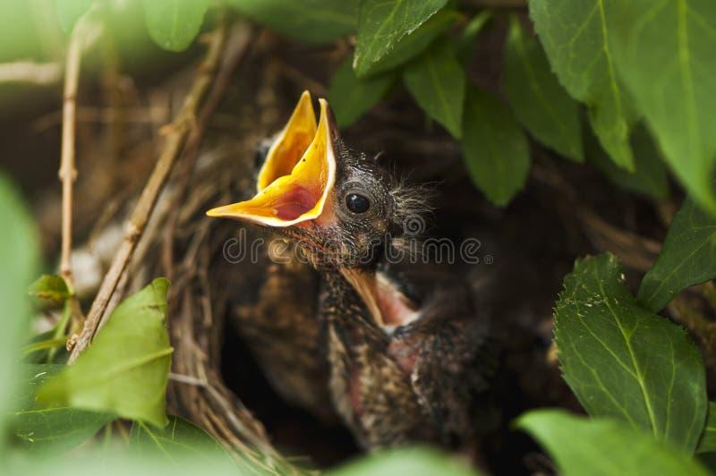 黑鹂刚孵出的雏 免版税库存图片