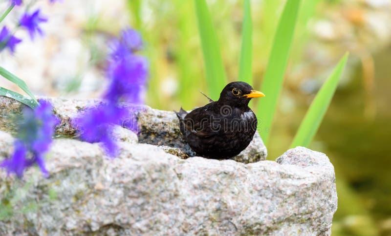 黑鹂在庭院里 免版税库存图片