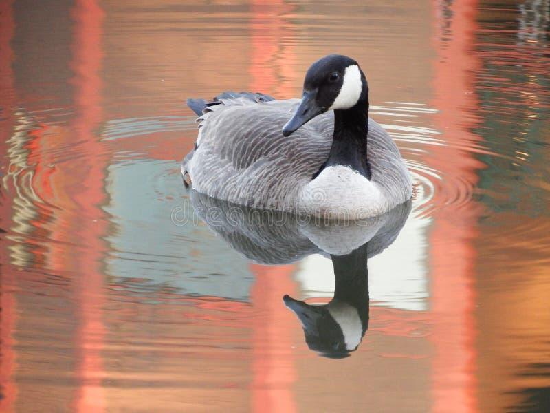 鹅和反射在橙色池塘 免版税库存图片