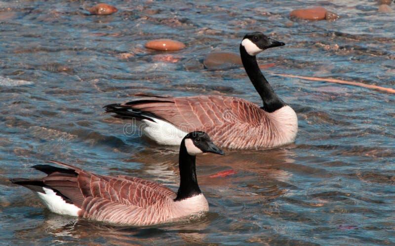 鹅和雄鹅一起游泳 库存图片