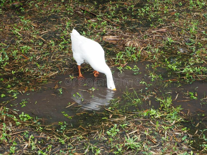鹅在井淹没他的面孔发现某事吃 免版税库存图片