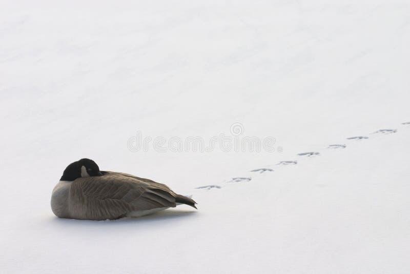 鹅孤立休息 库存照片