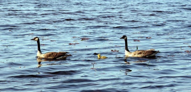 鹅家庭保护的婴孩 免版税库存图片