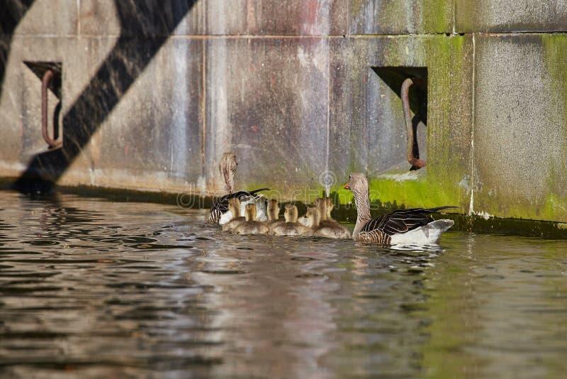 鹅家庭在` Eilbekcanal `做一次旅行在汉堡 免版税库存照片