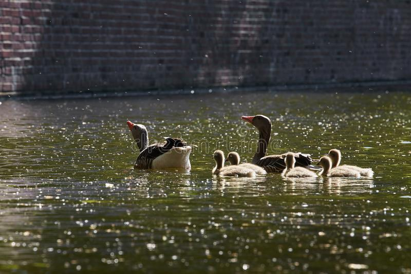 鹅家庭在` Eilbekcanal `做一次旅行在汉堡 库存图片