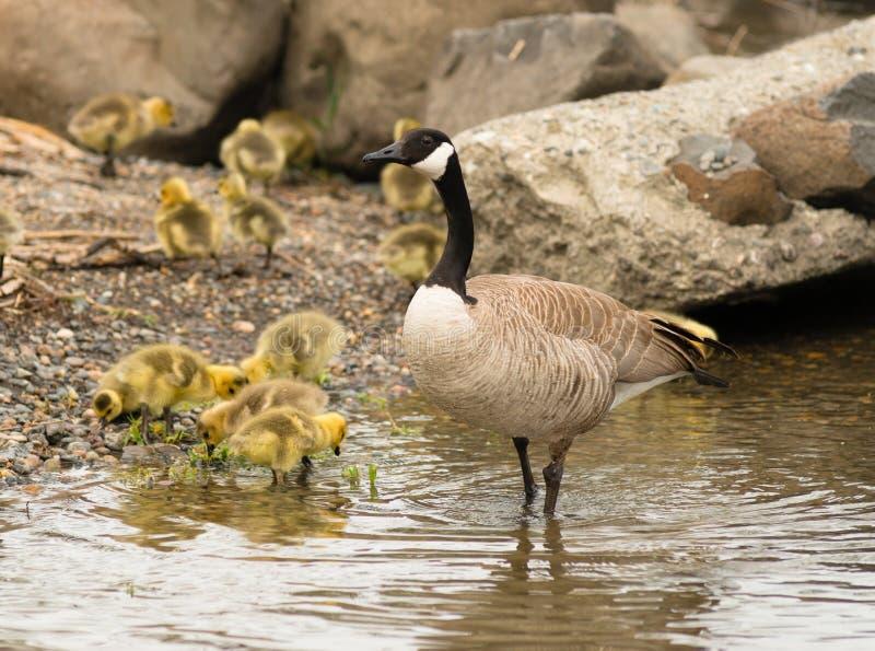鹅母亲在小鸡婴孩附近挤作一团 库存图片