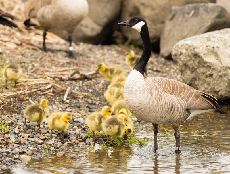 鹅母亲支持来的子孙岸上休息 库存图片