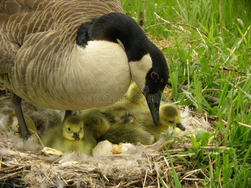 鹅母亲 免版税库存图片