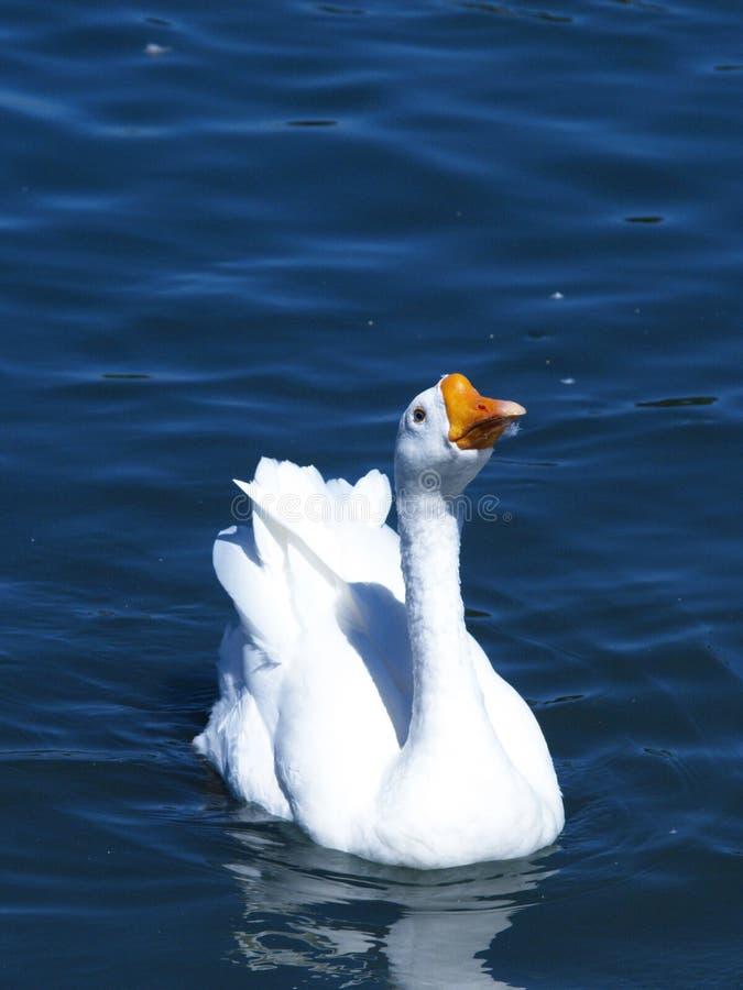 鹅游泳 免版税库存图片