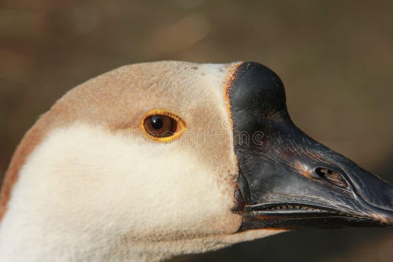 鹅的眼睛 鹅头 r 在焦点外面的背景 库存照片