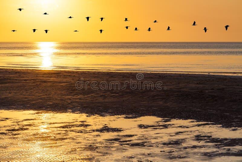 鹅群剪影飞行横跨橙色天空的在日落 库存图片