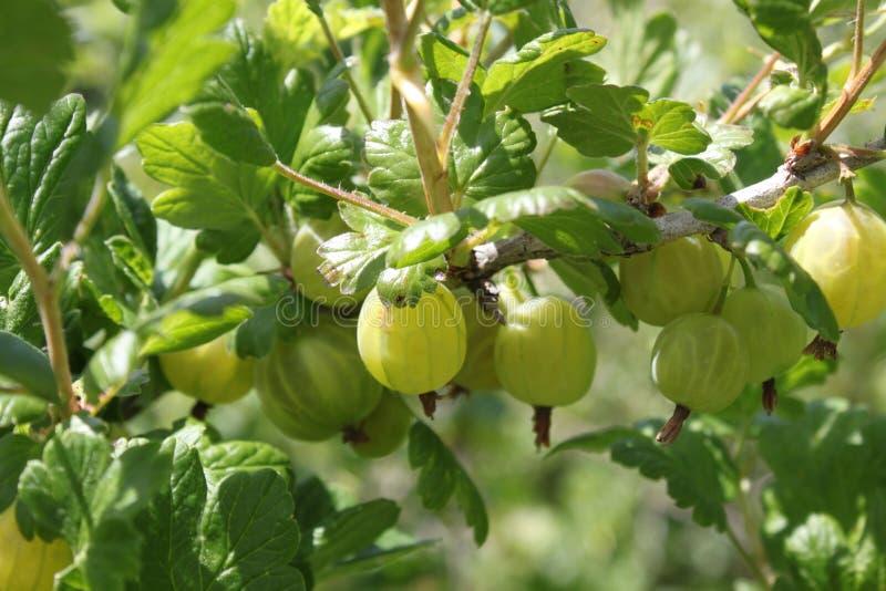 鹅莓在夏天在庭院里 库存图片