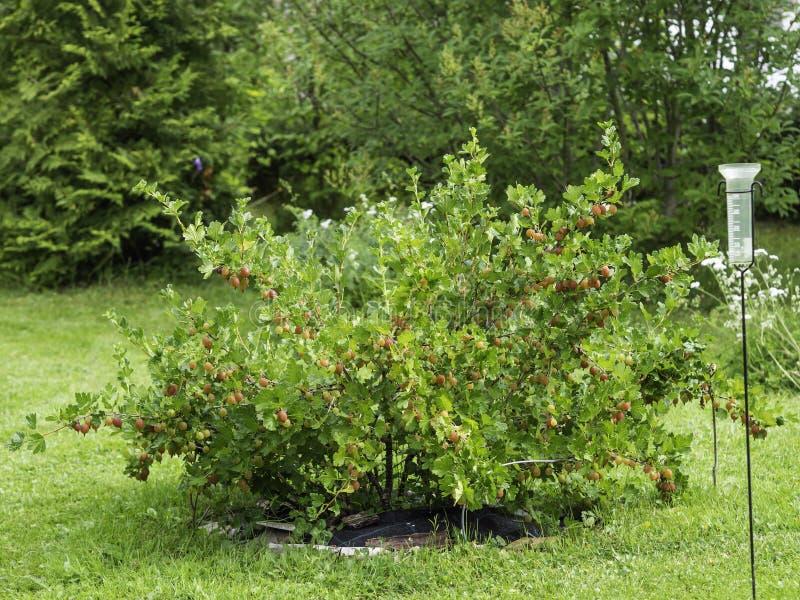 鹅莓灌木用红色莓果 免版税库存照片
