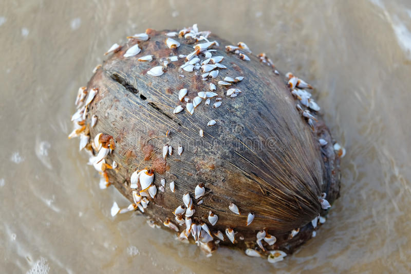 鹅藤壶或鹅颈管眼镜在椰子 库存图片